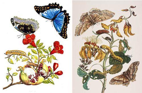 ilustraciones María Sibylla.jpg