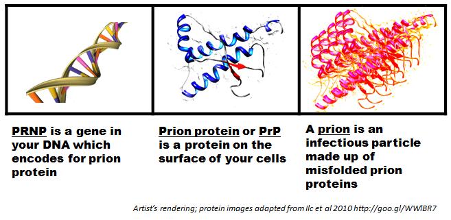 prnp-prp-prion.png
