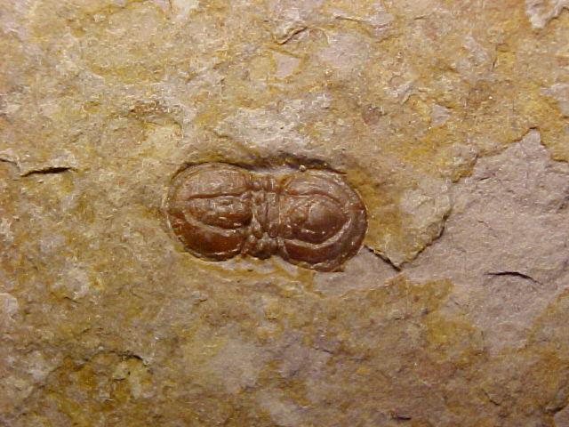 Peronopsis-segmenta